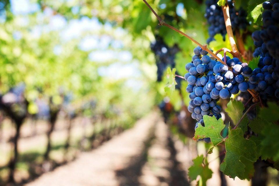 https://silvija-turist.hr/wp-content/uploads/2021/08/grapes-553463_960_720-960x640.jpg